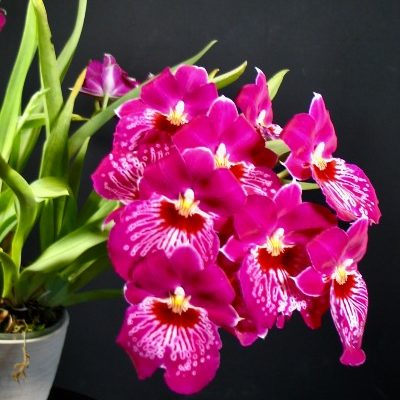 A Miltoniopsis Morris Chestnut 'H171' which has pink petals with a white and red splash on the lip.